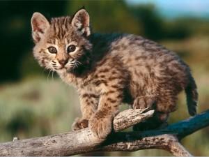 baby_bobcat
