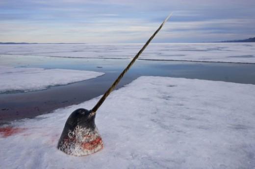 narwhal-head-tusk-540x359